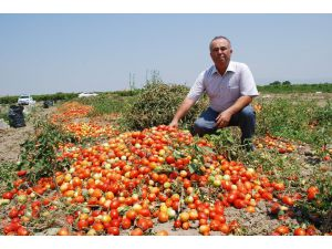 Salçalık domatesin ekimi yüzde 50 düştü