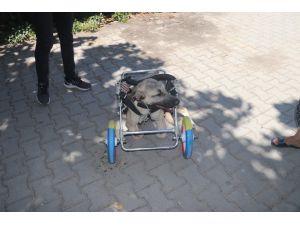 Yanlış tedaviyle ayakları kesilen köpeğe yürüteç
