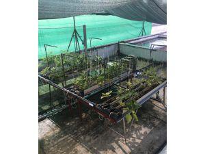 Sazan gübresiyle patlıcan ve marul