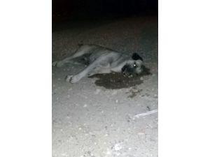 Zehirlenen Köpekler Sokak Ortasında Can Çekişti