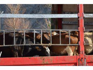 Artvin'de Genç Çiftçilere Büyükbaş Hayvan Dağıtımı Yapıldı