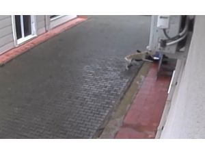Aç Kalan Köpekler İlkokul Öğrencisine Böyle Saldırdı