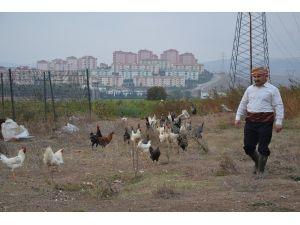 Bu Tavuklar Kene Düşmanı