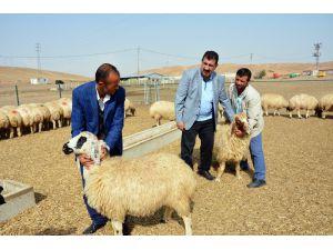 Tüdkiyeb Genel Başkanı Çelik, 300 Koyun Projesi'ne Start Verdi