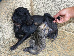 Köpek Yavru Kediyi Emzirip, Annelik Yapıyor