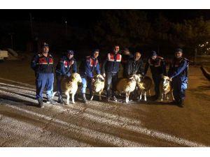 Kayseri'de Küçükbaş Hayvan Hırsızlığı