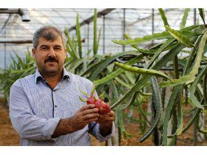 Domates Ve Biberden Para Kazanamayınca 'Ejder Meyvesi' İşine Girdi