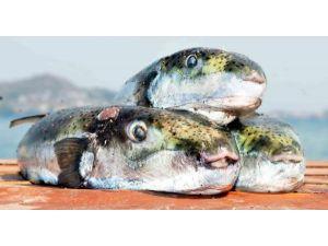 Alanya'da Yediği Balon Balığından Zehirlendi