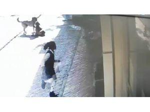 Sokak Köpekleri Kendilerini Seven Küçük Kıza Saldırdı