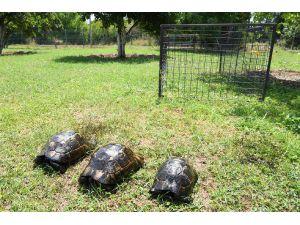 Zift İçinde Bulunan Kaplumbağalara Tedavi
