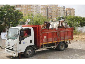 Antalya'da Faytonlara Koşulan Atlar Tarıma Hizmet Edecek