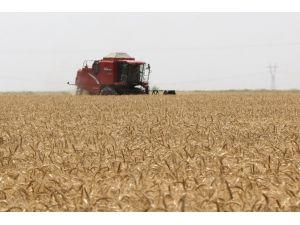 Buğdayda Rekolte Düştü