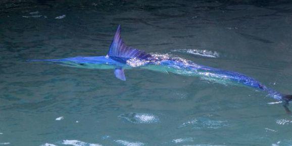 Mavi Yelken Balığı Kemer'de Görüntülendi