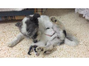 Annesiz Kalan Yavru Kediye Köpek Annelik Yapıyor