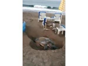 Şezlonglar Arasında Yumurtlama Alanı Arayan Kaplumbağa Tartışması
