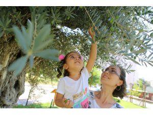 Bin 500 Yıllık 'Anıt Ağaç' Zeytin Verdi