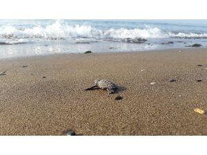 Yavru Caretta Cerattalar Denizle Buluşmaya Başladı