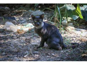 Günlerdir Boynunda Kavanoz Parçası İle Yaşayan Kedi Kurtarıldı