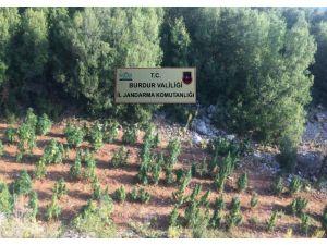 Burdur'da Ormanlık Alandaki Kenevir Tarlasına Jandarma Baskını