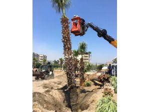 15 Palmiye Ağacı Kocahasanlı Plajına Taşındı