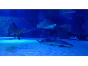 Antalya'nın 'Jaws'ları Dalgıç Korumalar Eşliğinde Besleniyor