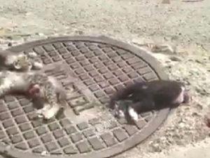 Kedileri Parçalayarak, Telef Etmişler