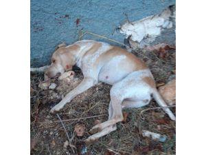 Sokak Köpeğini İşkenceyle Öldürdüler