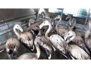 Yavru Flamingolar Kurtarılarak Göle Bırakıldı