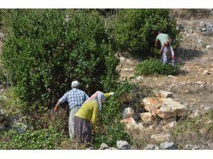 Mersin, 'Yeşil Altın' Defne Yaprağı Üretiminde 5'inci Sırada