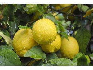 Lamas Limonu Coğrafi İşaret Tescil Belgesi Aldı