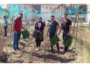 MYO öğrencileri uygulamalı kış sebzesi yetiştirme eğitimi yaptı