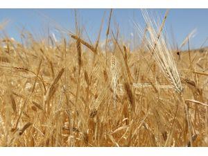 Sezonun İlk Buğdayı 1 Lira 73 Kuruştan Alıcı Buldu