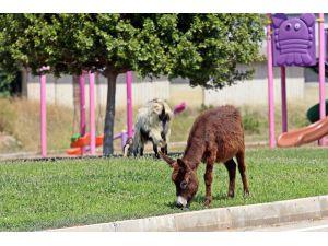 Kent merkezinde çimleri uzayan çocuk parkları eşek ve keçilere kaldı