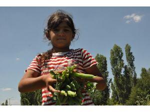 Türkiye'nin Bezelye İhtiyacının Yüzde 35'ini Karşılayan Sinanpaşa'da Hasat Başladı