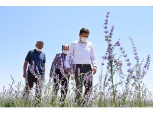 Karatay'da Lavanta Hasadı Başladı