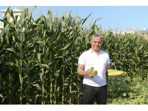 Muratpaşa'nın mısırlarına hasat zamanı