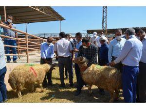 Kırıkhan'da 18 Besiciye Damızlık Koç Dağıtıldı