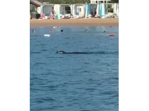 Akdeniz foku, tatilcilerle birlikte yüzdü