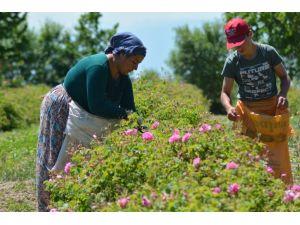 Gül Çiçeği İçin 7.35 Tl Fiyat Belirlenen Gül Üreticisi Dekar Başına Destek Bekliyor