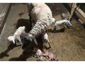 Denizli'de Koyun 5'iz Doğurdu