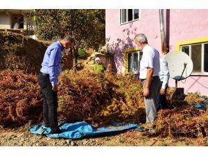 Buldan'da 810 Dekar Alanda 300 İle 350 Ton Arası Kestane Hasadı Devam Ediyor