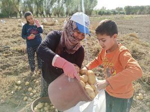 Şuhut'ta Kışlık Patates Hasadı Başladı