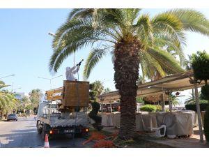 Alanya'da palmiye böceği için ilaçlama başladı