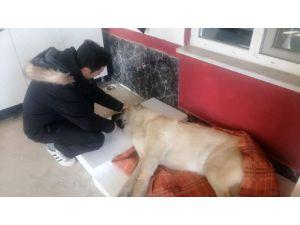 Çoban Köpeğini Tüfekle Vurdular, Sahibi Köpeğine İlk Müdahaleyi Yaptı