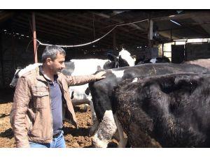 Mağdur besiciye 3 gebe inek verildi
