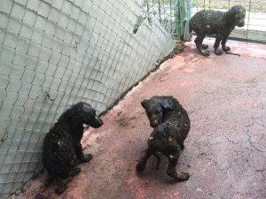 Çankaya'da Asfalt Ziftine Düşen 3 Yavru Köpek Kurtarıldı