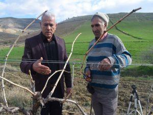 Alaşehir Üzüm Bağlarında Kışlık Bakım Çalışmaları Sürüyor