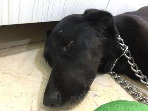 İstanbul'da Göbeğinde Vahşet, Köpeğin Makatına Silikon Sıktılar