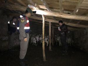 Kayıp Koyun Ve Kuzuları Jandarma Buldu
