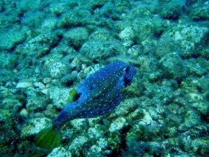 Antalya'da yeni bir tropik balık türü görüldü